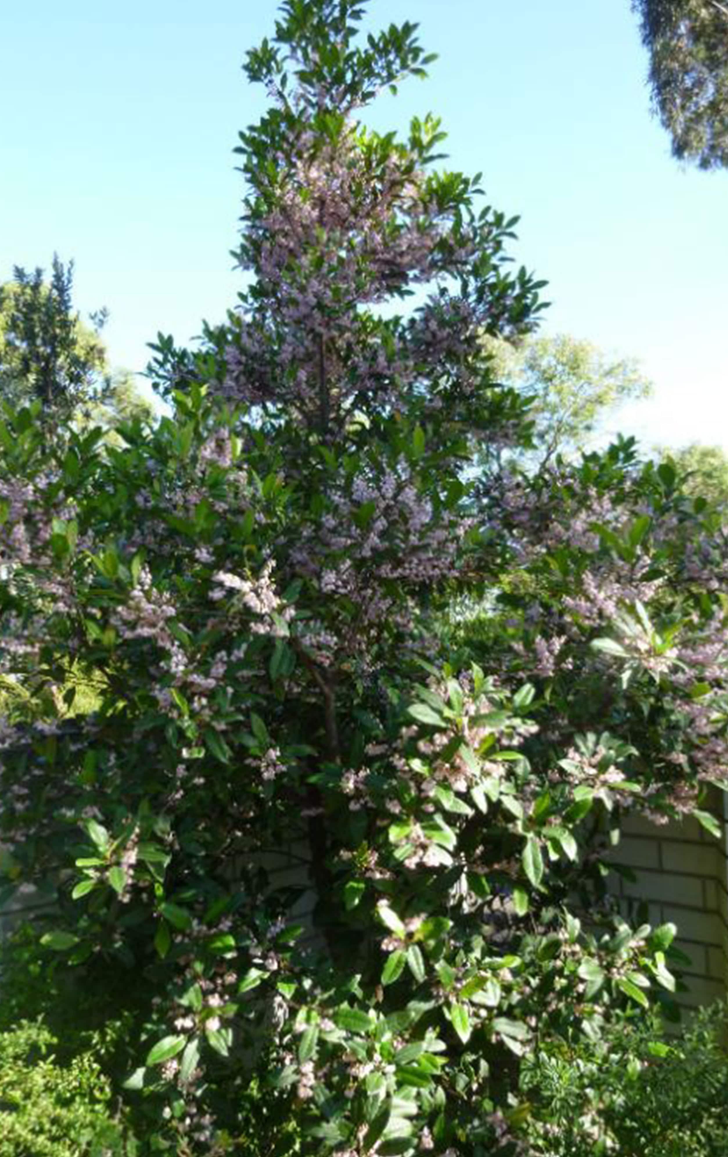 blueberry-ash