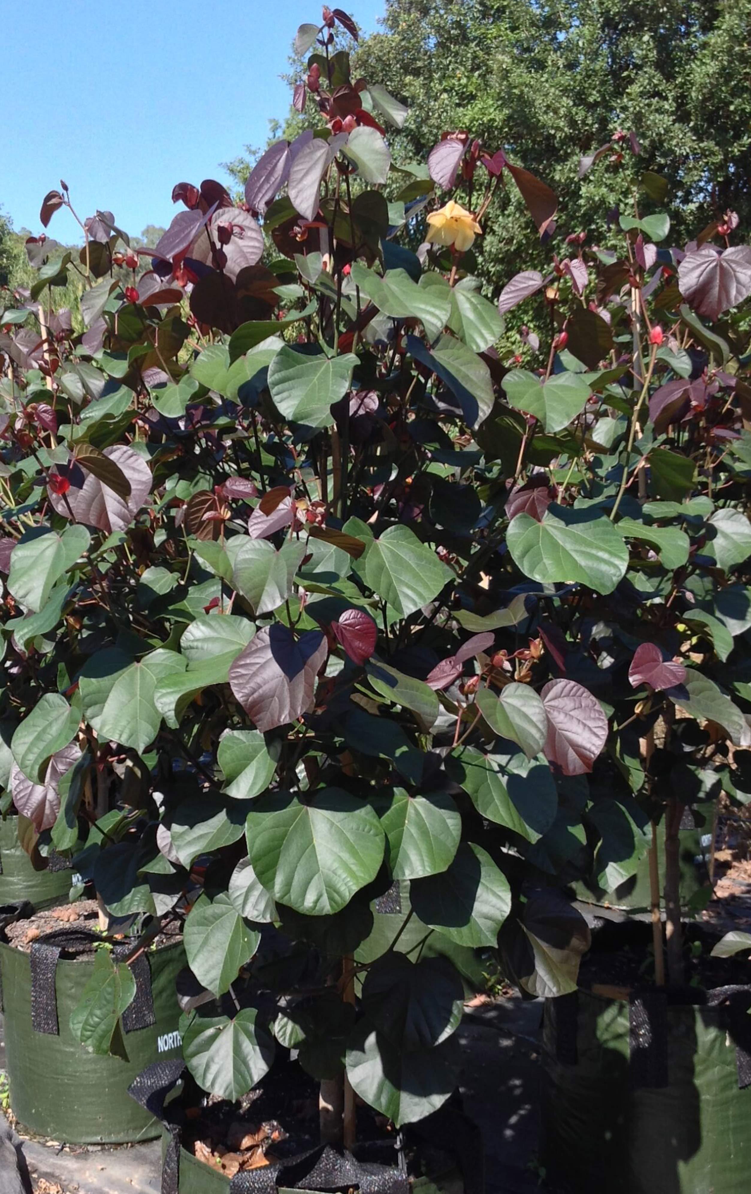 hibiscus-rubra