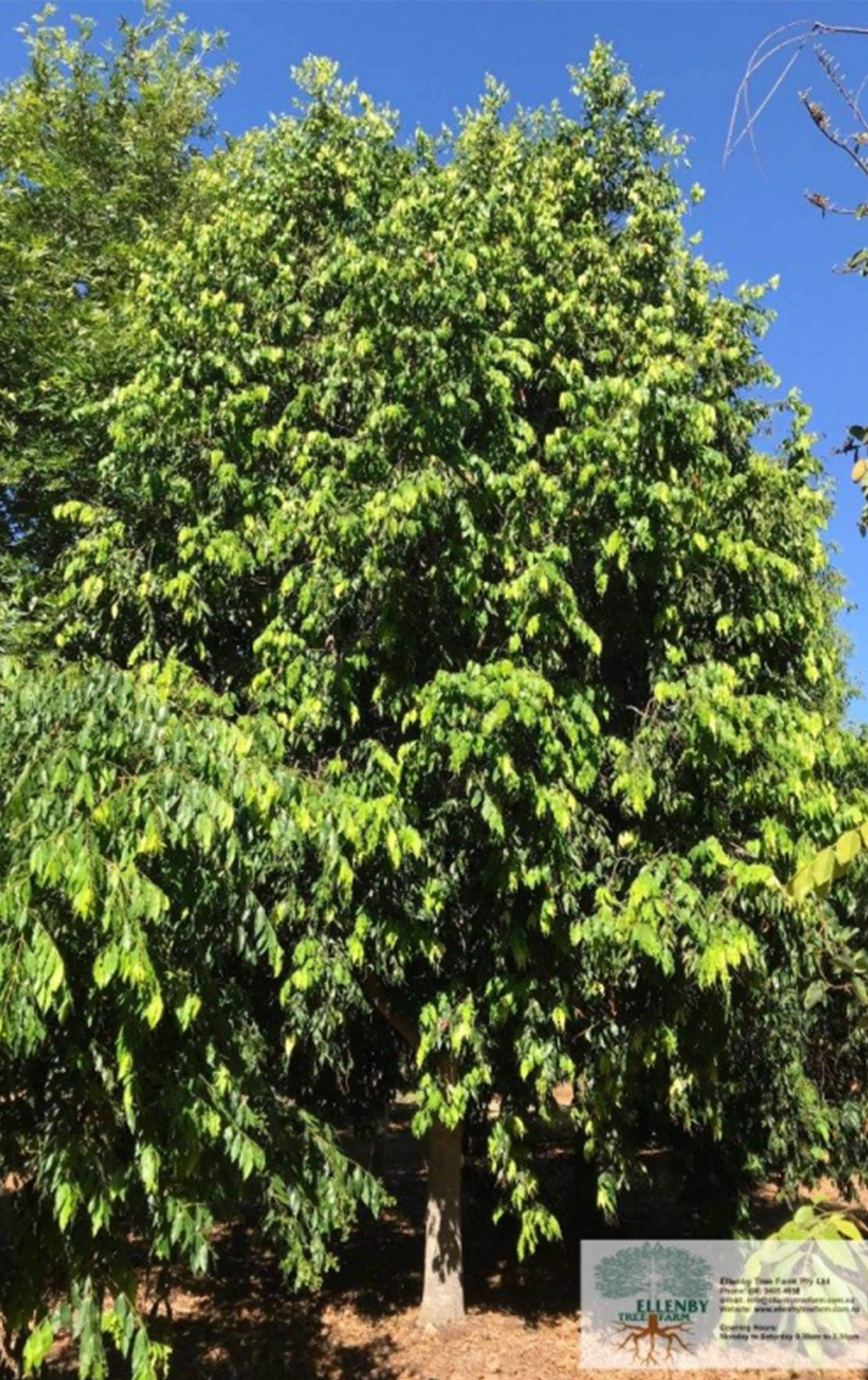 waterhousia-floribunda